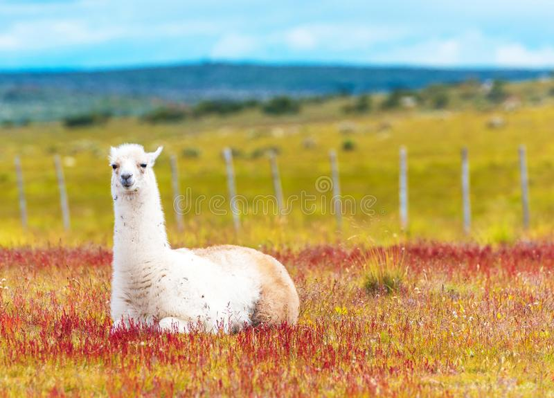 Guanaco lamas in national park Torres del Paine mountains, Patagonia, Chile, South America. Copy space for text. royalty free stock photography