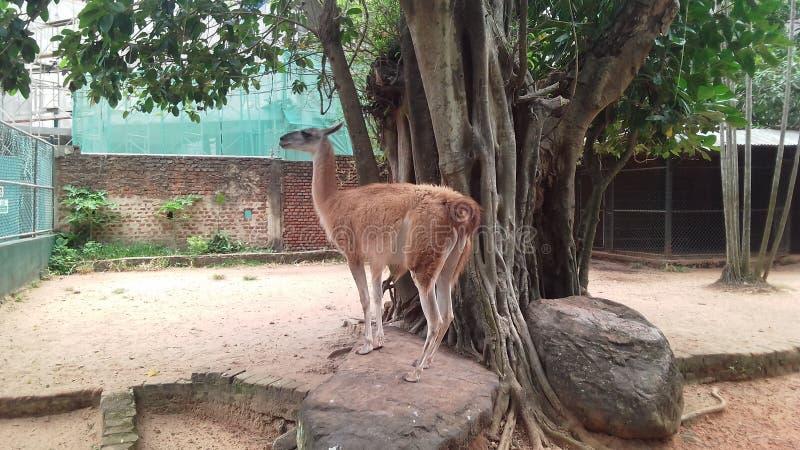 Guanaco mammel bij Dehiwala-dierentuin royalty-vrije stock foto's