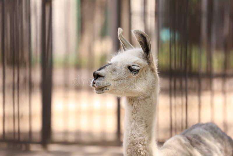 Guanaco mignon dans le jardin zoologique image stock