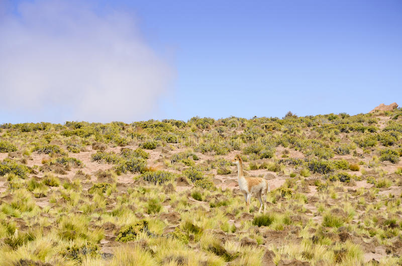 Guanaco. Mimicry of guanaco in Altiplano royalty free stock photography