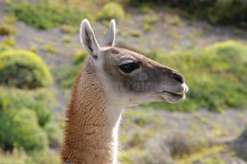 Guanaco in National Park Torres del Paine stock image