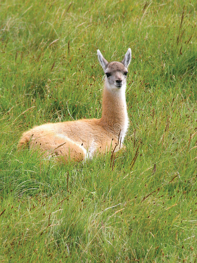 Guanaco in National Park Torres del Paine stock photo