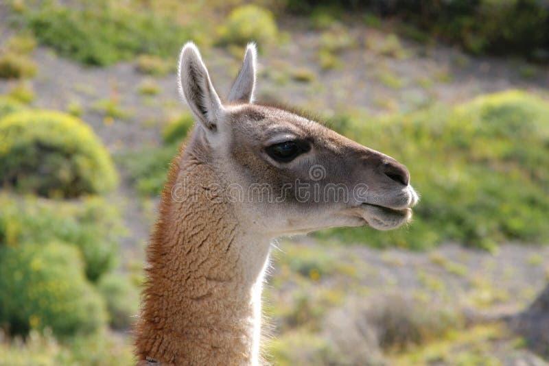 Guanaco in Nationale Park Torres del Paine stock afbeelding