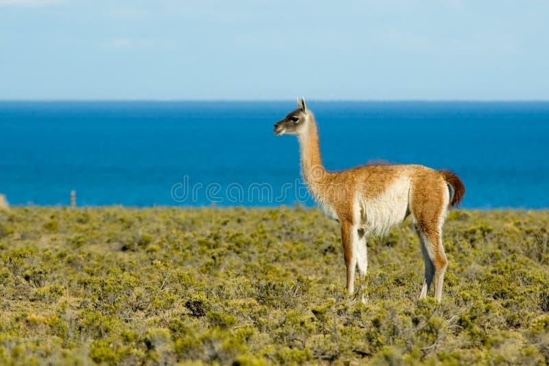 Guanaco no Patagonia. imagem de stock royalty free