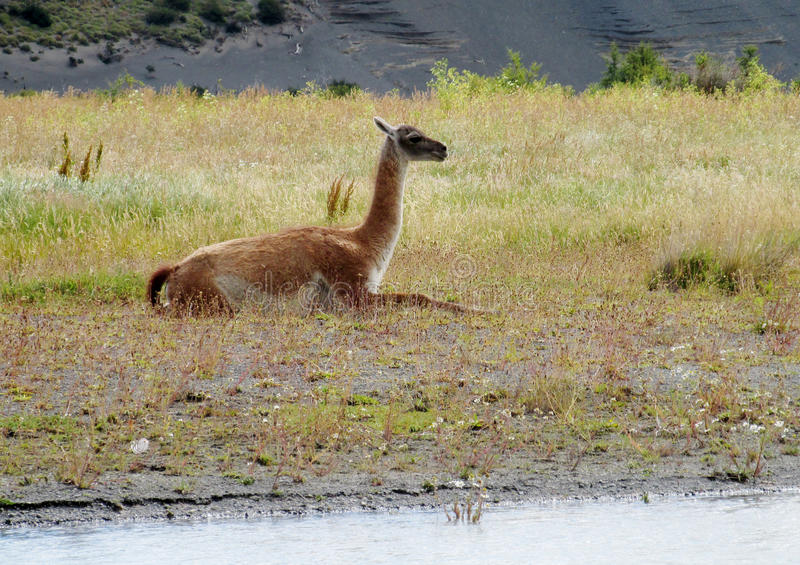 Guanaco. In pampa bushes in Patagonia. South American camelid wild animals on the green field in Patagonia, Argentina and Chile royalty free stock photos
