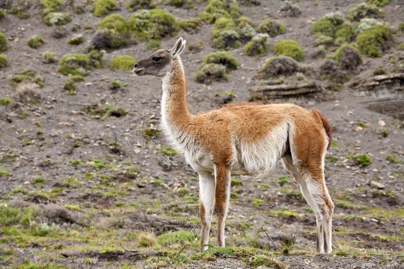 Guanaco - Patagonia - il Cile immagini stock libere da diritti