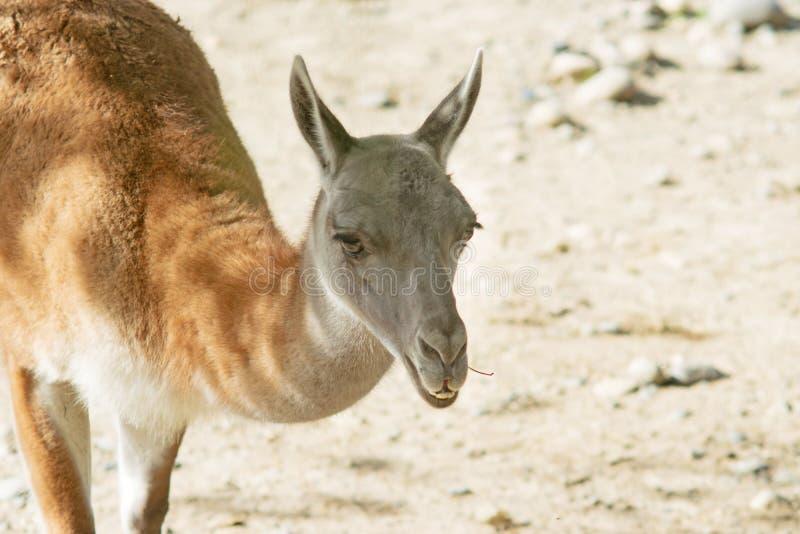 Guanaco. Portrait of a guanaco & x28;Lama guanicoe& x29;, a camelid native to South America stock photos