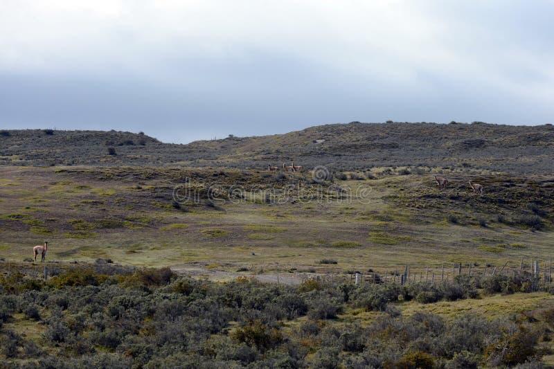 Guanaco près du village de Porvenir en Tierra del Fuego images stock