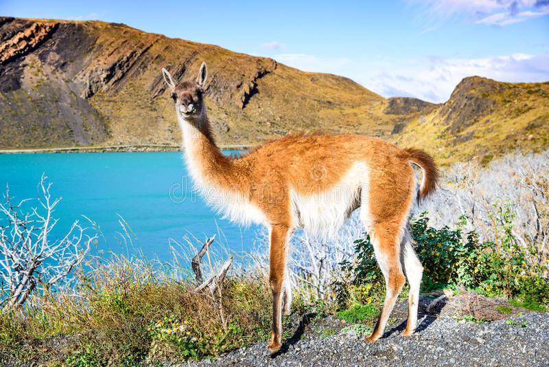 Guanaco, Torres del Paine, Chile fotos de archivo