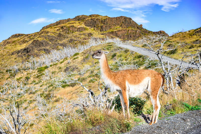 Guanaco, Torres del Paine, Chile stock images