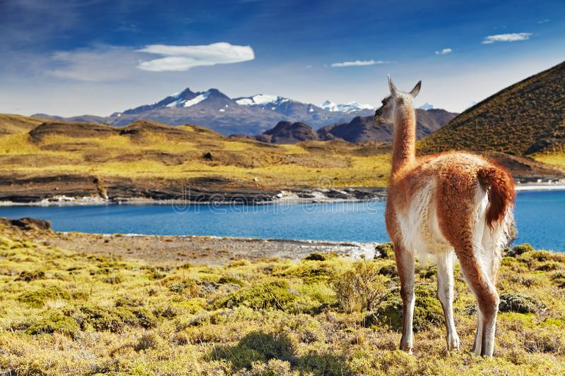 Torres del Paine, Patagonia, Chile. Guanaco in Torres del Paine National Park, Patagonia, Chile stock images