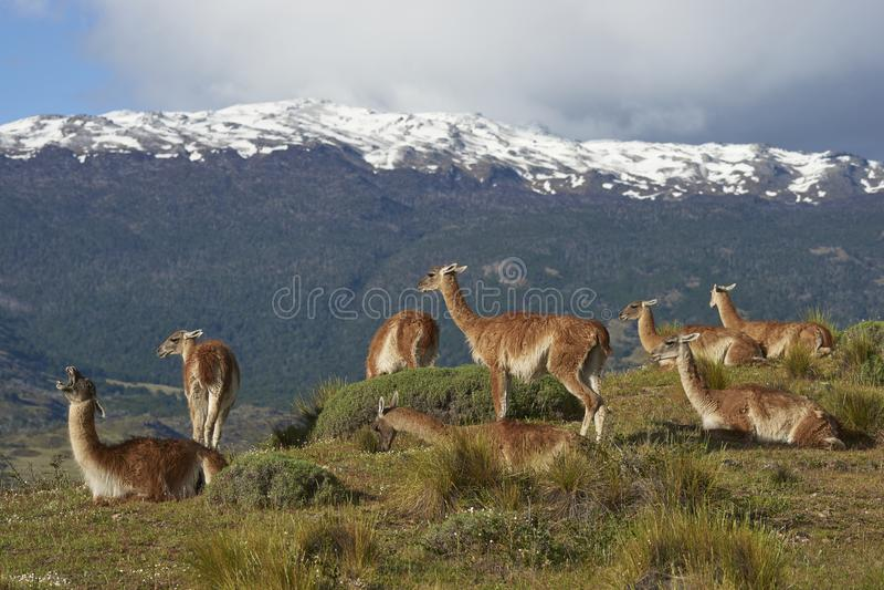 Guanaco in Valle Chacabuco, Chile lizenzfreie stockbilder
