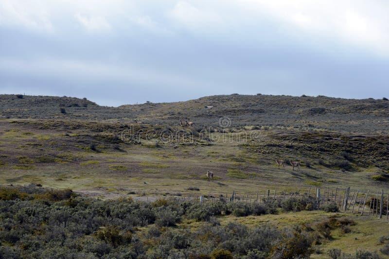 Guanaco vicino al villaggio di Porvenir in Tierra del Fuego immagine stock