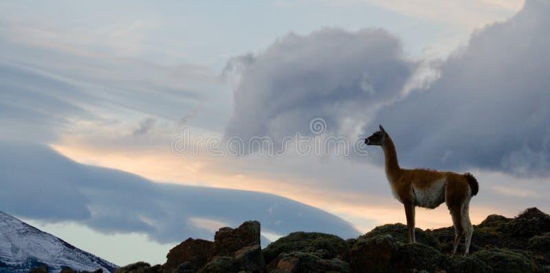 Guanacoen står på vapnet av bergbakgrunden av snöig maxima del paine torres chile arkivfoton