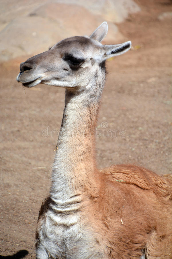 Guanacoes. (Lama guanicoe), The name guanaco comes from the South American language Quechua word wanaku (old spelling, huanaco). Young guanacos are called royalty free stock image