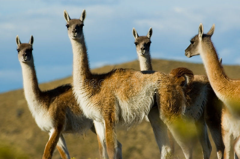 Guanacoes in the patagonian steppe royalty free stock photography