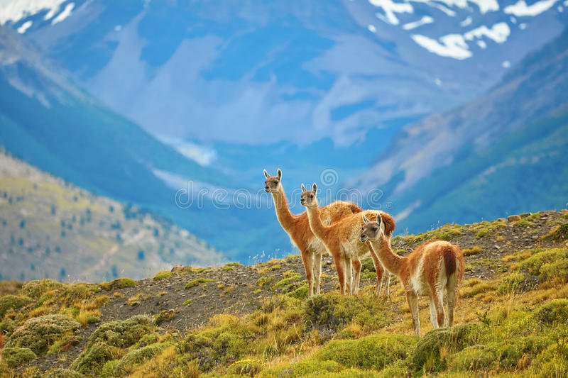 Guanacoes in Torres del Paine national park. Three guanacoes in Torres del Paine national park, Patagonia, Chile stock photo