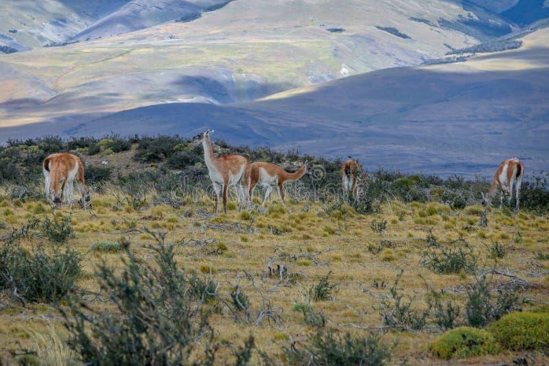 Guanacos bij Torres del Paine National Park - Patagonië, Chili stock foto