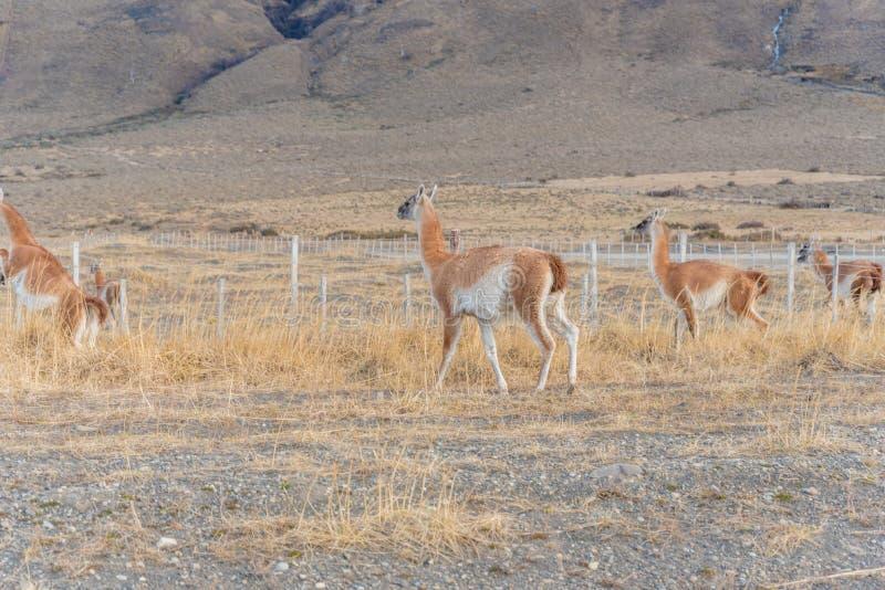 Guanacos em Parque Nacional Torres del Paine no Chile fotos de stock