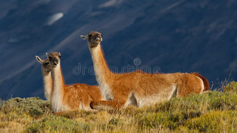 Guanacos en stationnement national de Torres del Paine, Chili photo libre de droits