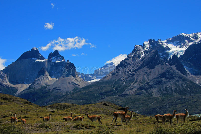 Guanacos en stationnement national de Torres del Paine, Chili photos stock