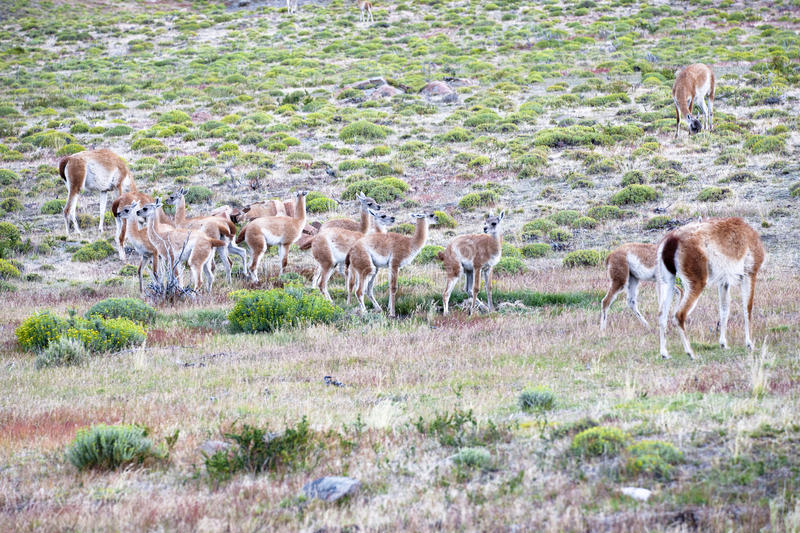 Download Guanacos With Kids - Guanacoes Royalty Free Stock Photo - Image: 26640065