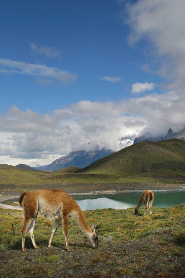 Guanacos in Nationale Park Torres del Paine royalty-vrije stock fotografie