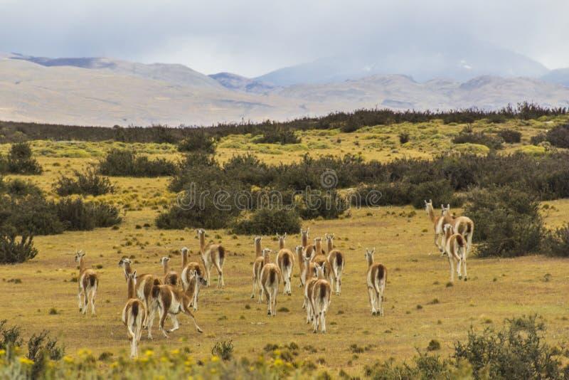 Guanacos op het gebied van Torres del Paine National Park stock afbeeldingen