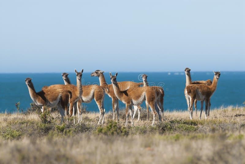 Guanacos-Patagonia, Argentina fotos de stock royalty free