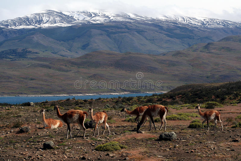 Guanacos (wilde lama's) in Patagonië royalty-vrije stock afbeelding