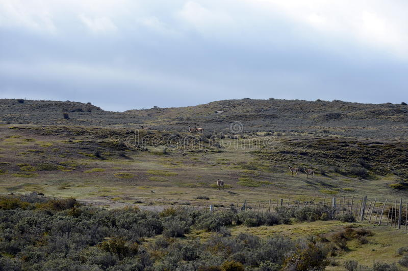 Guanako blisko wioski Porvenir w Tierra Del Fuego obraz stock