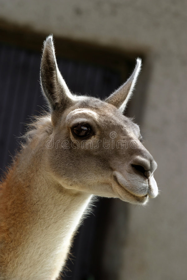 Guanako de lama - 2 photos libres de droits