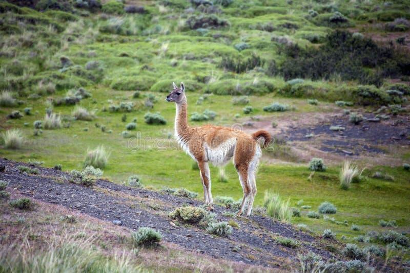 Guanako - Lama guanicoe - Torres Del Paine - Patagonia - Chile zdjęcia stock