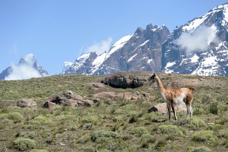 Guanako w Chilijskim Patagonia obraz royalty free