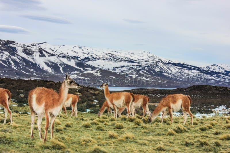 Guanako w Torres Del Paine parku narodowym, Laguna Azul, Patagonia, Chile obraz stock