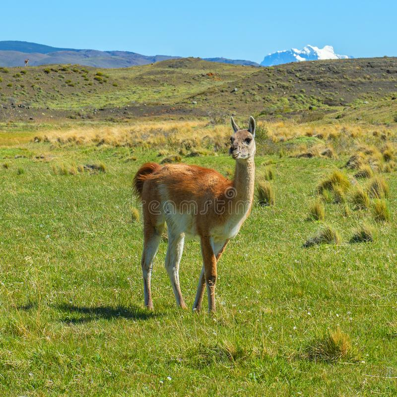 Guanao em Torres del Paine, Patagonia, o Chile fotografia de stock