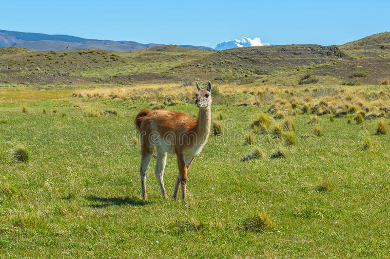 Guanao en Torres del Paine, Patagonia, Chili image stock