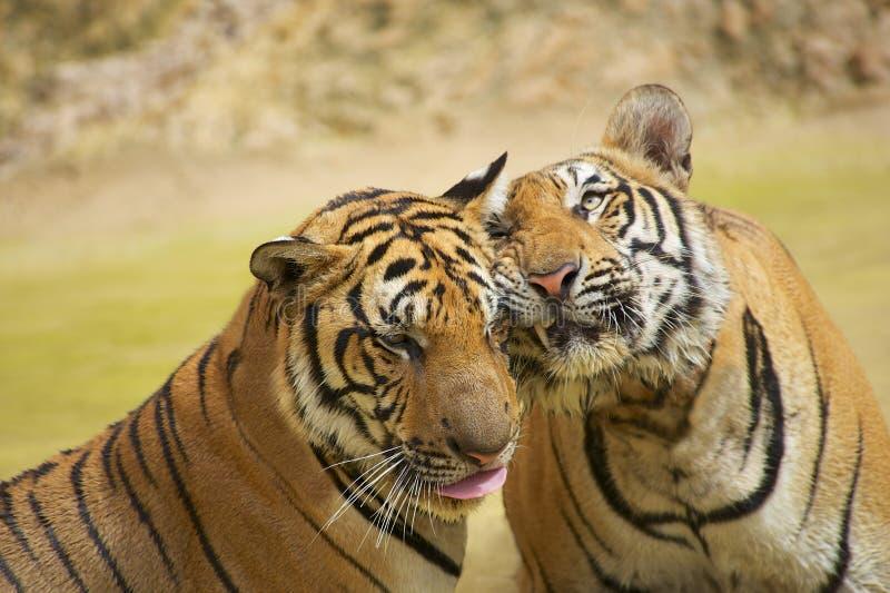 Guance dello sfregamento delle tigri immagine stock
