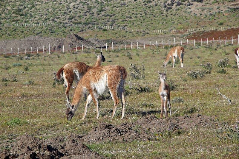 Guanicoe de lama de Guanaco en parc national de Torres del Paine, région de Magallanes, Chili du sud photographie stock