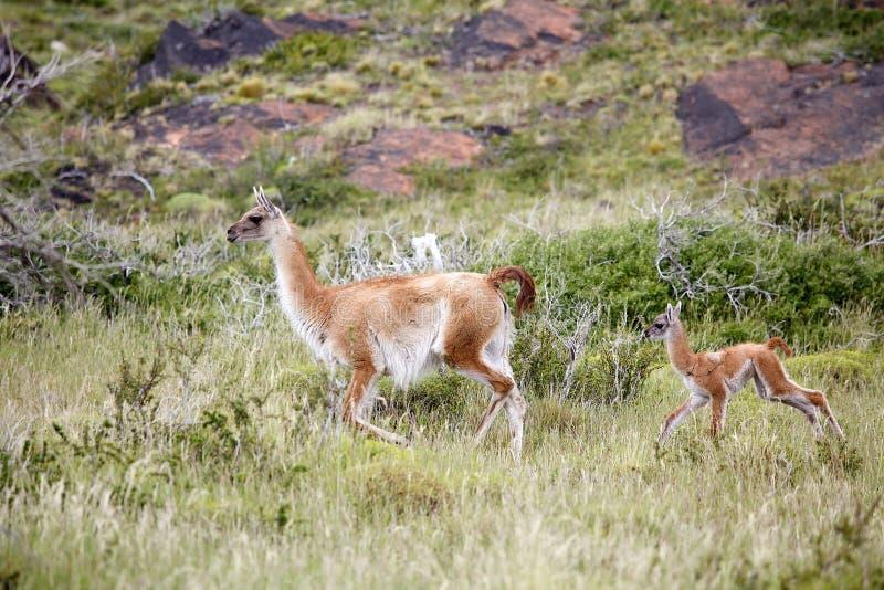 Guanicoe de lama de Guanaco en parc national de Torres del Paine, région de Magallanes, Chili du sud photographie stock libre de droits