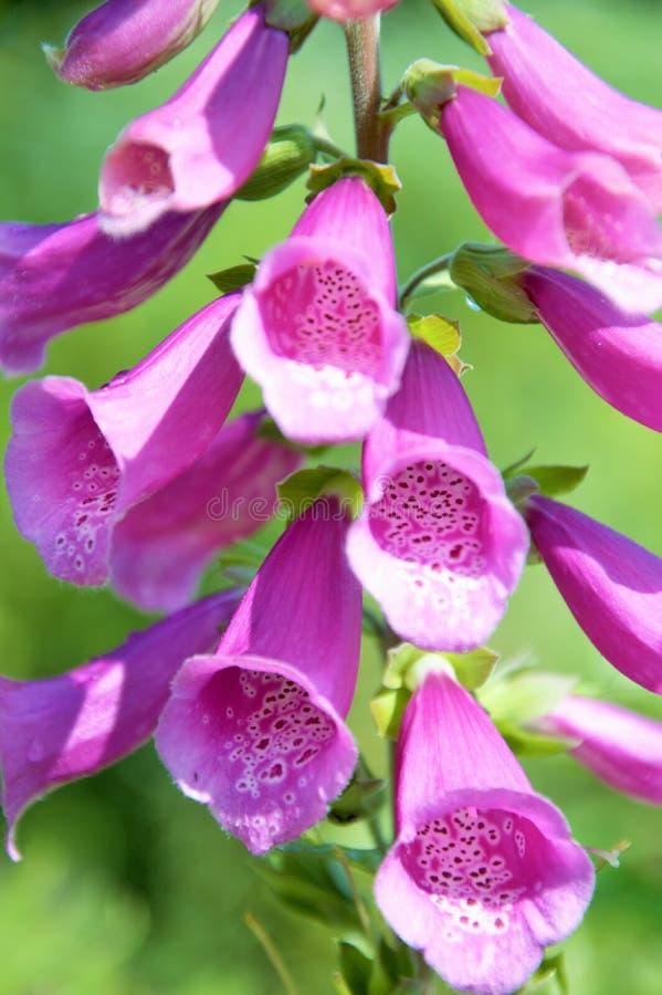 Guante del Fox que florece en mediados de verano con las flores de la lila foto de archivo
