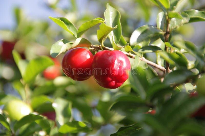 Guaraná Fruit royalty free stock image