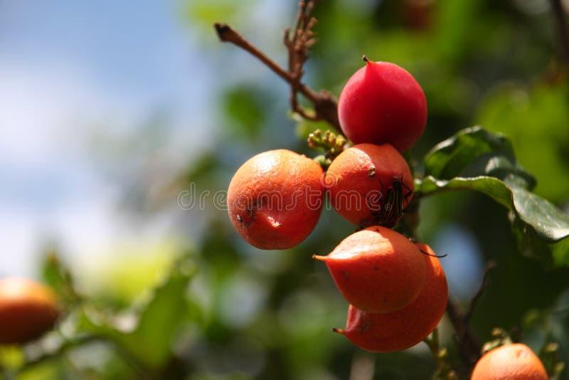 Guarana fruit royalty free stock photo