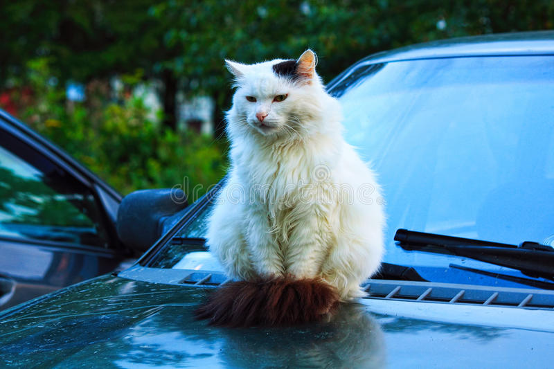 Guard. The cat sits on the hood of a car. It looks like a guard stock image
