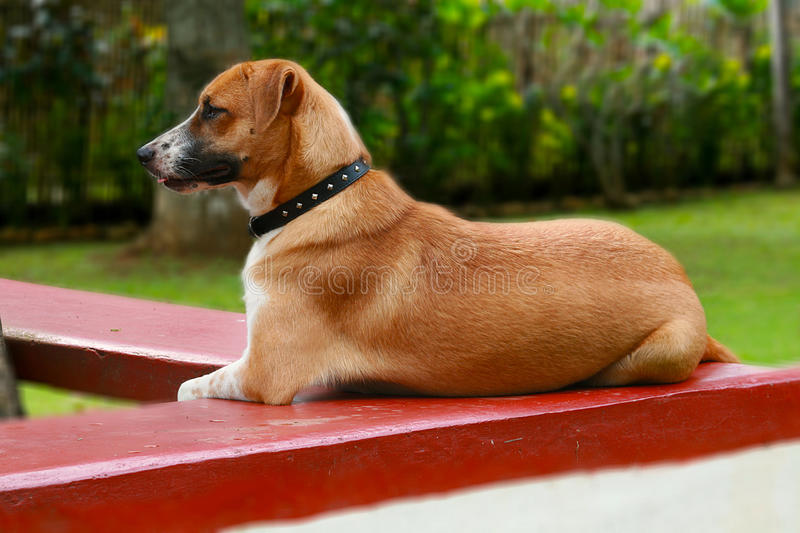 Download Guard dog stock photo. Image of loyal, friend, aide, alert - 13428352