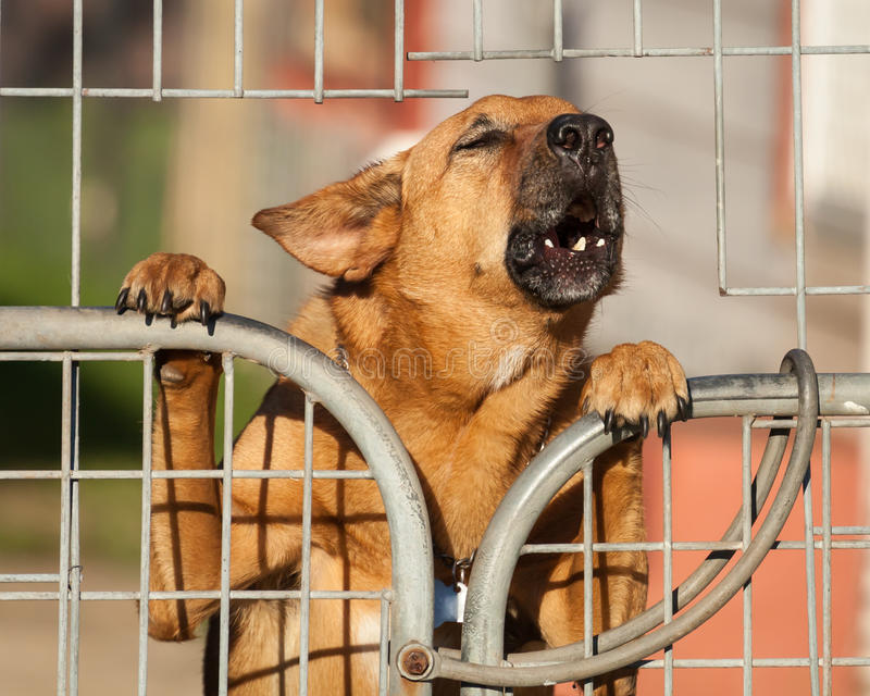 Guard Dog Barking a Warning Behind a Wire Fence. Angry german Shepherd cross breed security dog barking a warning from behind a wire fence stock photos