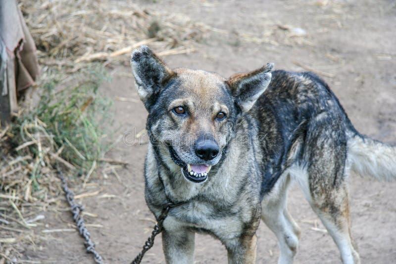 Guard dog on a chain leash on a backyard of a village house. Near Nizhny Novgorod, Russia royalty free stock image