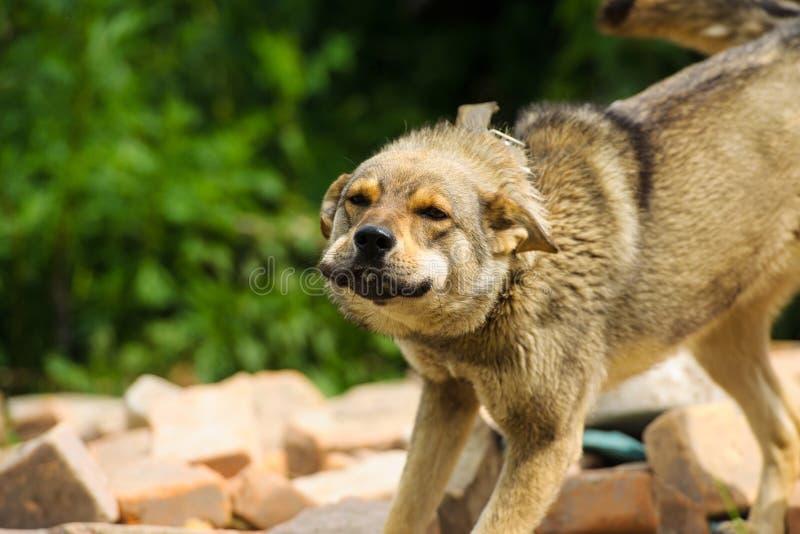 guard dog royalty free stock image