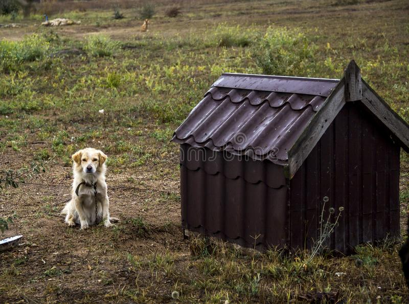 Guard dog. Sit near the doghouse stock photography