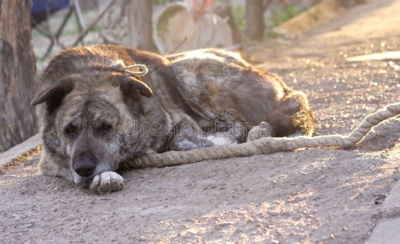 Download Guard dog on leash stock image. Image of details, rests - 24731103